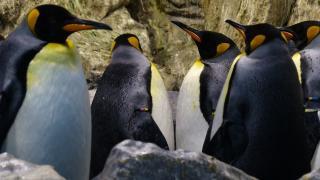 Pinguine, Linux